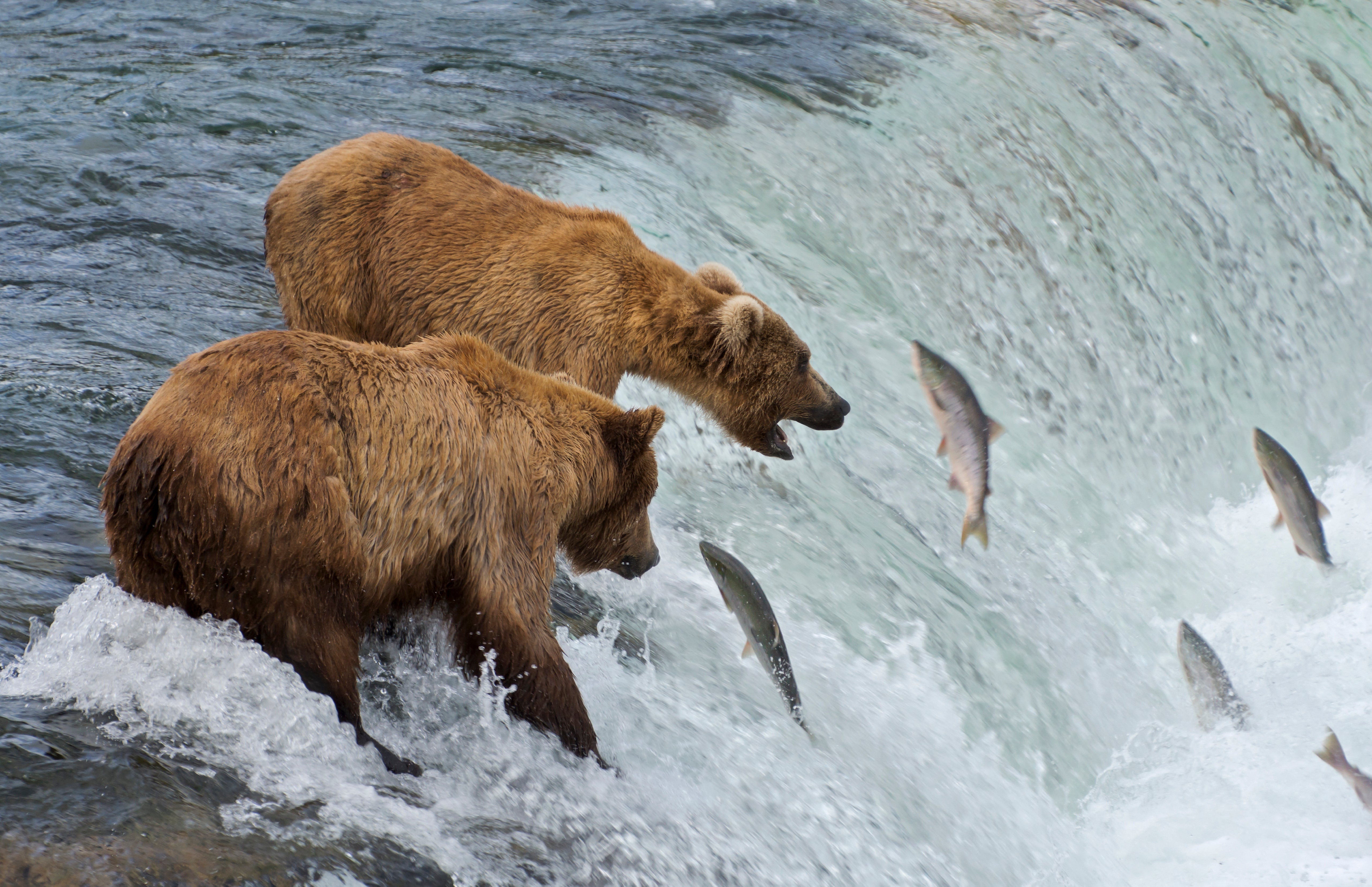 7981d689 e2a7 4ae7 af42 for Bear catching fish