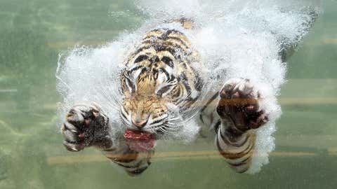 A Bengal Tiger named Akasha dives into the water after a piece of meat at Six Flags Discovery Kingdom on June 20, 2012 in Vallejo, Calif. (Justin Sullivan/Getty Images)