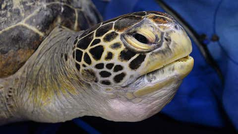 Green sea turtle, Buoy, is fitted with a tag at Manly SEA LIFE Sanctuary near Sydney, Australia, on April 11, 2013. (AFP/Getty Images)