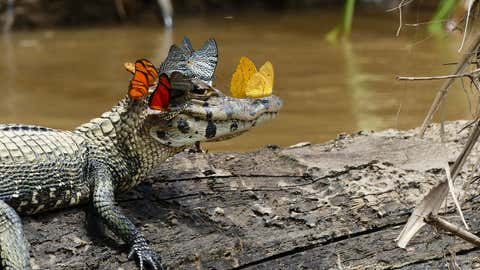 Colorful butterflies gather on the head of this caiman to collect salt - an important mineral for their survival. (Marc Cowan / The Royal Society Publishing Photo Competition)