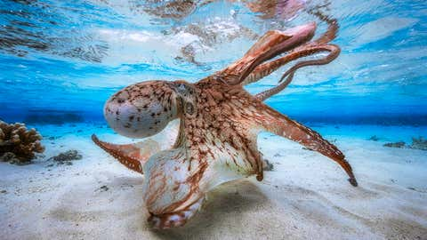 Underwater Photographer of the Year, 2017: Dancing Octopus. (Gabriel Barathieu/UPY 2017)