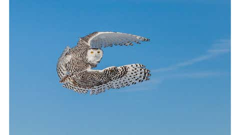 """""""Snowy owl in flight"""": This Snow Owl was nest to the road and I was able to capture it as it took off. (Submitted by Tom Samuelson)"""