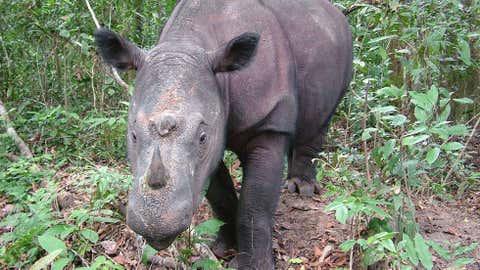 Sumatran rhino, Diceros sumatrensis. (Save the Rhino International)