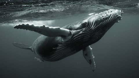 Humpback whale calf Beethoven, 2006. (Bryant Austin/Studio Cosmos)