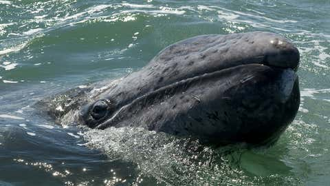 A gray whale calf. (Omar Torres/AFP/Getty Images)