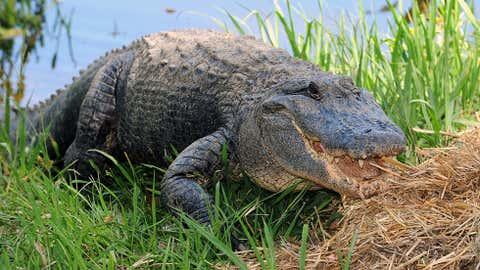 An American alligator. (Torsten Blackwood/AFP/Getty Images)