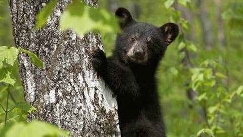 In this photo provided by Ben Kilham, a bear cub is seen  inside Kilham's 8-acre forested enclosure, May 12, 2012, in Lyme, N.H. (AP Photo)