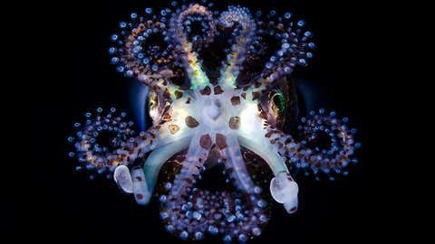 A bobtail squid in the waters off of Anilao, Batangas, Philippines. (Todd Bretl/ toddbretl.com)