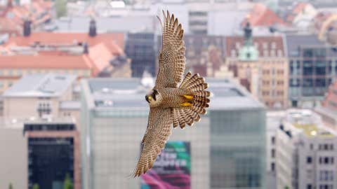 A peregrine falcon in flight. (Sebastian Willnow/AFP/Getty Images)