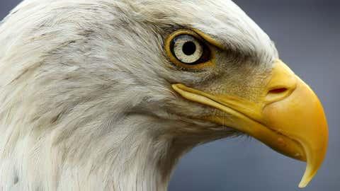 A bald eagle. (Nick Laham/Getty Images)