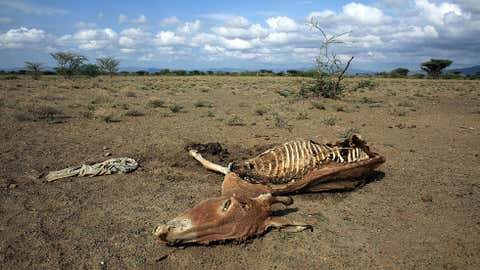 Temperature plays a huge role in how quickly bodies decay. This donkey succumbed to a drought in Kenya. (Christopher Furlong/Getty Images)
