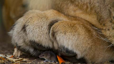 A mouse finds itself under a large paw. (Juan Carlos Mimo Perez)