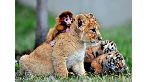 A baby monkey, a lion cub and tiger cubs play at the Guaipo Manchurian Tiger Park in Shenyang, Liaoning Province, May 1, 2013. (Reuters)