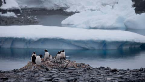 In this Jan. 22, 2015 photo, Gentoo penguins stand on rocks near the Chilean station Bernardo O'Higgins, Antarctica. Here on the Antarctic peninsula, where the continent is warming the fastest because the land sticks out in the warmer ocean, 49 billion tons of ice is lost a year according to NASA. (AP Photo/Natacha Pisarenko)