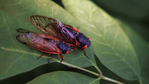 The cicada is one of millions that emerged in the Great Lakes in June 2007. (Image: Scott Olson/Getty Images)
