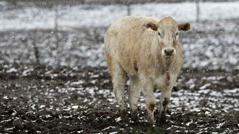 A cow stands in a feedlot amid falling snow near Grimes, Iowa. (Image: AP Photo/Charlie Neibergall)