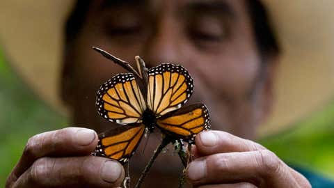 In the photo above, a guide holds up a damaged and dying butterfly at the monarch butterfly reserve in Piedra Herrada, Mexico State, Mexico, on Nov. 12, 2015. Storms caused a big spike in the number of trees blown down or lost to heavy branch damage in forests where migrating monarch butterflies spend the winter in central Mexico, experts reported on Aug. 23, 2016.