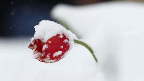 A lone tulip is draped with snow after a spring storm swept over the intermountain west early Saturday, April 29, 2017, in Englewood, Colorado. (AP Photo/David Zalubowski)
