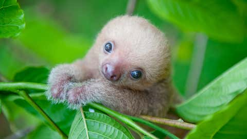 "As a wildlife conservationist in Costa Rica, Sam Trull has captured numerous photos of baby sloths, which she is featuring in a new book entitled ""Slothlove."" (The Sloth Institute/Sam Trull)"