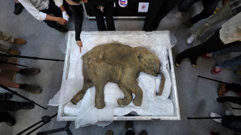 The carcass of the world's most well-preserved baby mammoth, named Lyuba, is displayed in Hong Kong on April 10, 2012.(aaron tam/AFP/Getty Images)