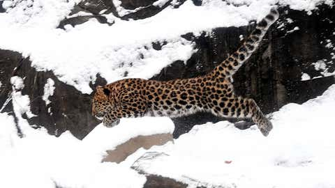 Brookfield Zoo's 4-month-old Amur leopard takes a leap in to the new snowfall. (Jim Schulz/Chicago Zoological Society)