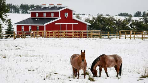Horse graze a snow covered pasture on a farm near Cremona, Alberta, Canada, Wednesday, Sept. 10, 2014. Environment Canada has ended a snowfall warning for Calgary, and much of the rest of southwestern Alberta. (AP Photo/The Canadian Press, Jeff McIntosh)
