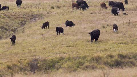 cattle-grazing