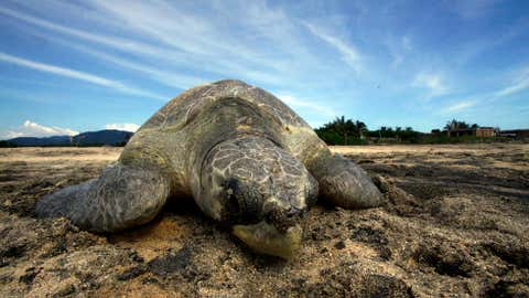 An Olive Ridley sea turtle arrives at Ixtapilla beach, in Aquila municipality on the Pacific coast of Michoacan State, Mexico, on October 13, 2013. More than 1,000 turtles are expected to arrive in the area daily this season. (HECTOR GUERRERO/AFP/Getty Images)