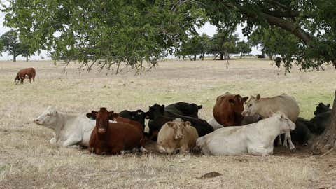 drought-cattle