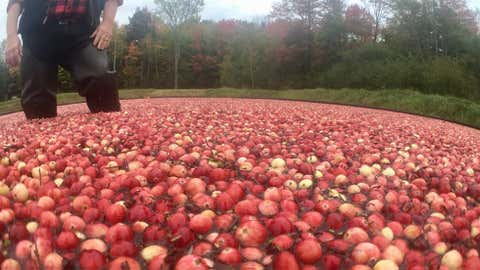 The floating cranberries can then be collected with boons and used for juice, wine or to make dried cranberries. (CITYNEWS/Audra Brown)