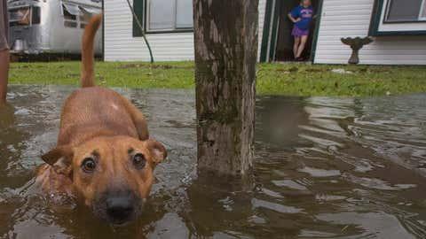 A dog walks out into flood waters in Bacliff, Texas on Saturday, Aug. 26, 2017. (Stuart Villanueva/The Galveston County Daily News via AP)