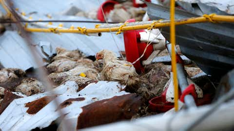 In this Sept. 25, 2017 file photo, a lone chicken walks amongst dead birds on a poultry farm in the aftermath of Hurricane Maria in Aibonito, Puerto Rico. A government official said the farm, which supplies the only fresh chicken in Puerto Rico, lost more than one million chickens. (AP Photo/Gerald Herbert, File)