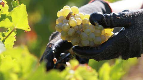In this file photo from Sept. 4, a worker collecting white grapes in the vineyards of the Chateau Haut Brion, a Premier Grand Cru des Graves, during the grape harvest in Pessac-Leognan, near Bordeaux, southwestern France. (AP Photo/Bob Edme)