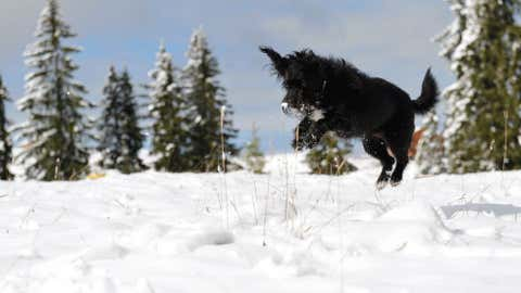 A dog jumps through the fresh snow at the Loferer Alp in the Austrian province of Salzburg, on Tuesday, Oct. 16. Snow fell down to just over 1,960 feet in several parts of the alpine country. (AP Photo/Kerstin Joensson)