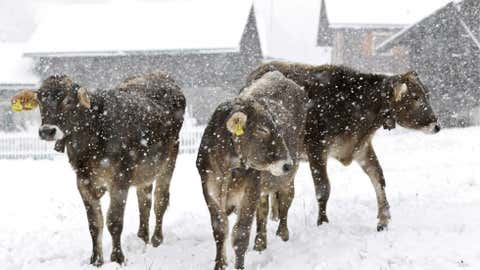 Cows wait on a snowy meadow in Churwalden, Switzerland, on Oct. 15 during snowfalls. Weather forecasts predicted changeable weather in Switzerland for the week. (AP Photo/Keystone/Arno Balzarini)