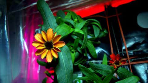 International Space Station Commander Mark Kelly recently tweeted this picture of the first flower grown in space. (Mark Kelly/NASA)