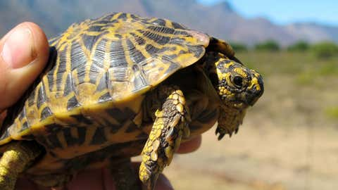 "The IUCN reclassified the Geometric Tortoise as ""critically endangered"" this year. With constant threats to their habitat from agricultural development and human settlement, the survival of the species has been significantly threatened. (Turtle Conservancy)"