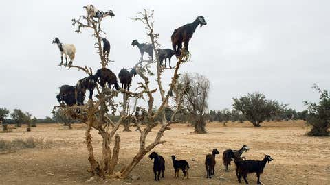 Goats climb a tree in Torino, Italy. (Ph Armj / Getty Images)