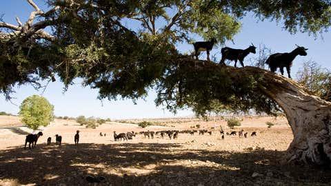 Les chèvres doivent grimper aux arbres pour trouver les fruits dont elles se nourrissent. (Mohr Michael/Getty Images)