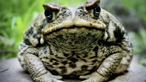 A very grumpy-looking cane toad.