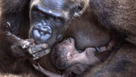 A gorilla feeds it's 4-day-old baby at Safari zoo on Nov. 14, 2012 in Ramat Gan, Israel. Two gorillas were born in as many weeks at the zoo.