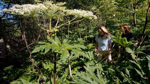 Conservation Lands Planner Victoria Maines, left, and Natural Heritage Ecologist Charlotte Cox walk through a patch of giant hogweed in Terra Cotta, Ont. on July 20, 2009. It can cause third degree burns and even permanent blindness - and it's spreading. Giant hogweed is cutting a wider swath in B.C. and Ontario, and the Nature Conservancy of Canada is urging people across the country to document sightings of the towering green plant with large umbels of white flowers and a clear sap. THE CANADIAN PRESS/Darren Calabrese