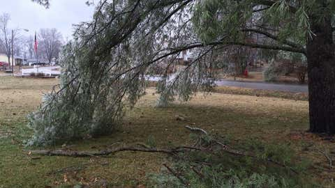 Tree damage from accumulated ice in Carterville, Illinois, on January 13, 2017. (John Chaney)