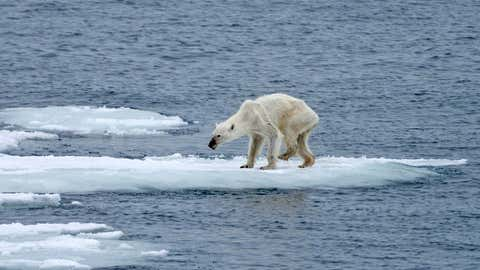 An emaciated polar bear is seen on a small sheet of ice in this image taken in August in Svalbard, north of mainland Norway. (Kerstin Langenberger)
