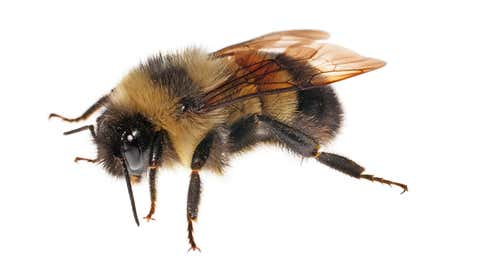 Don't let this bee fool you! It may look familiar, but we dare you to guess its name. (Clay Bolt)