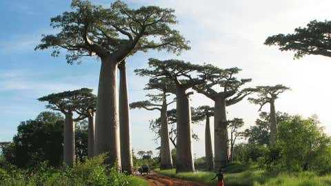 Towering baobab trees near Morondava, Madagascar.  (Photo credit:  Bernard Gagnon)