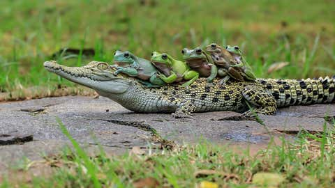 The five frogs look out from over the top of the crocodile's head.