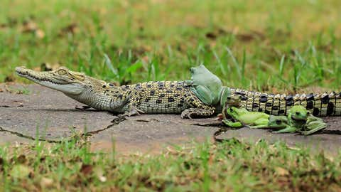 One brave frog ventures his way up onto the croc.