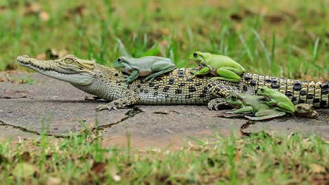 One frog sits comfortably on the croc's neck whilst another makes its way along its back.