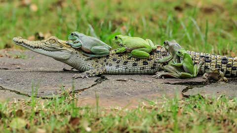 The frogs clamber onto the patient croc.